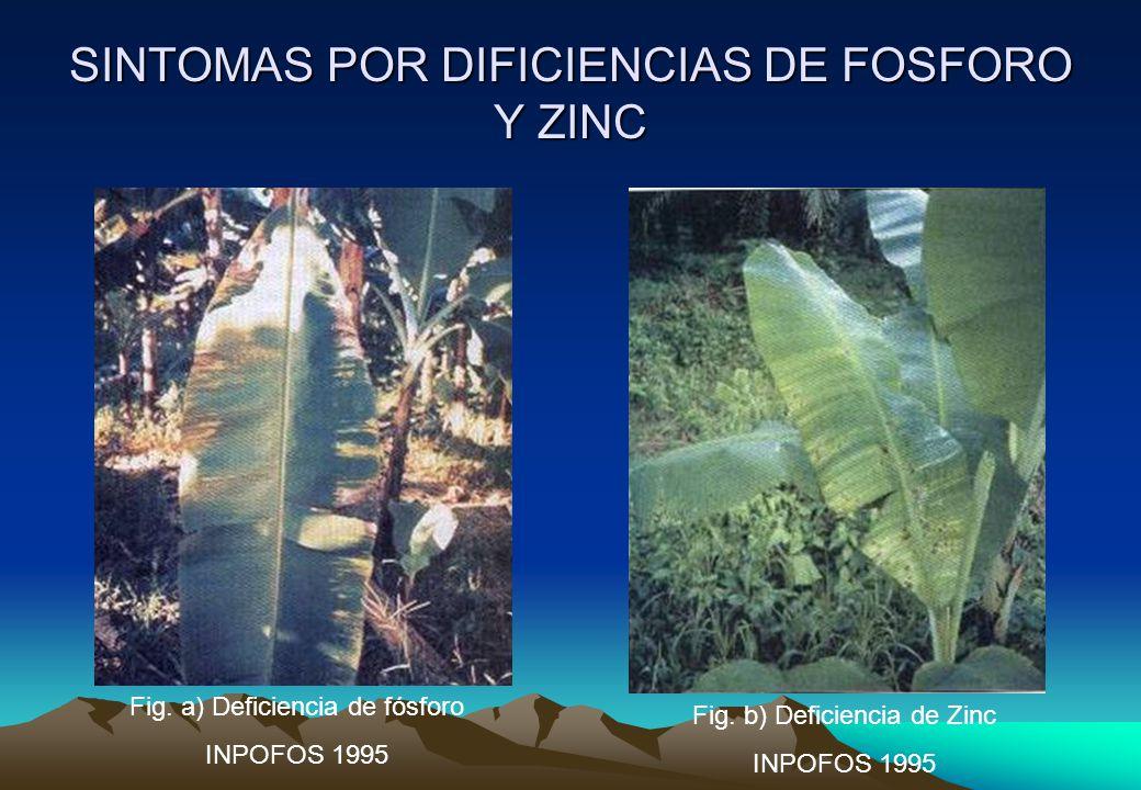 SINTOMAS POR DIFICIENCIAS DE FOSFORO Y ZINC
