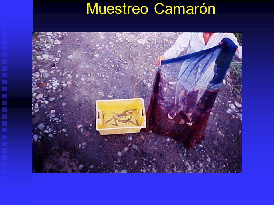 Muestreo Camarón