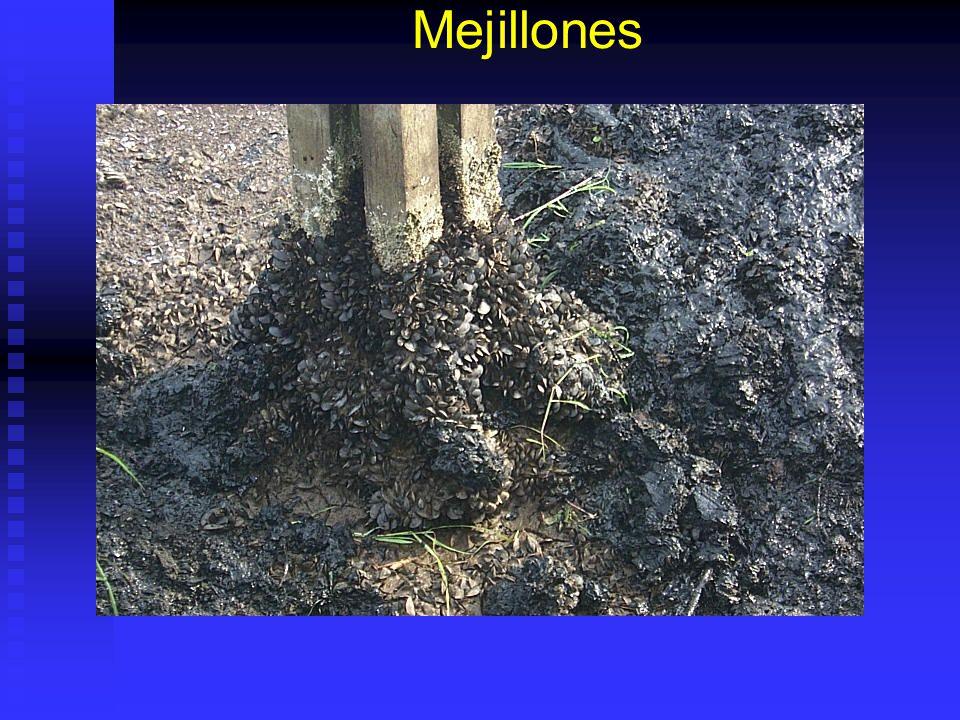 Mejillones