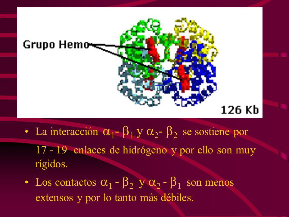 17 - 19 enlaces de hidrógeno y por ello son muy rígidos.