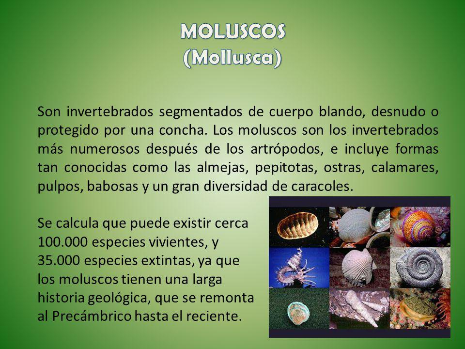 MOLUSCOS (Mollusca)