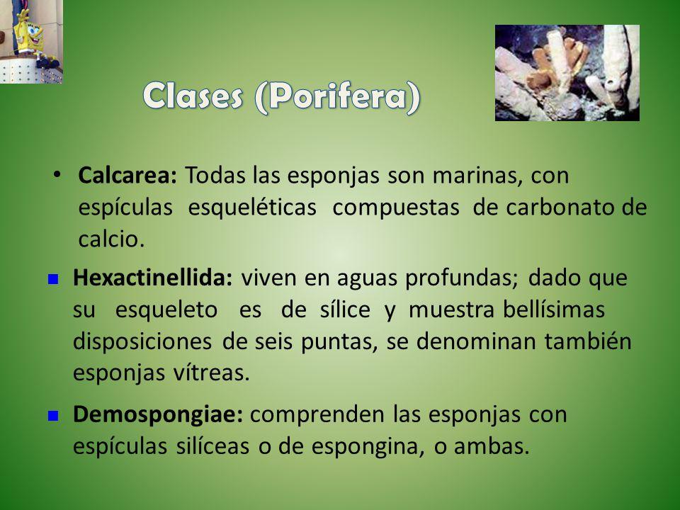 Clases (Porifera) Calcarea: Todas las esponjas son marinas, con espículas esqueléticas compuestas de carbonato de calcio.