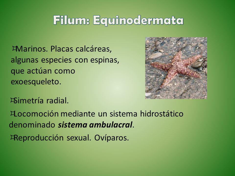 Filum: Equinodermata Marinos. Placas calcáreas, algunas especies con espinas, que actúan como exoesqueleto.