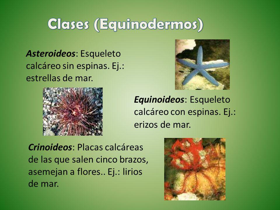 Clases (Equinodermos)