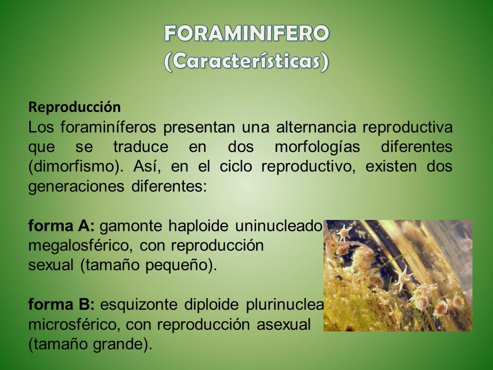 FORAMINIFERO (Características)