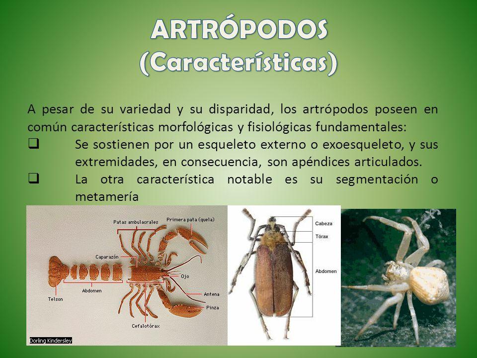 ARTRÓPODOS (Características)