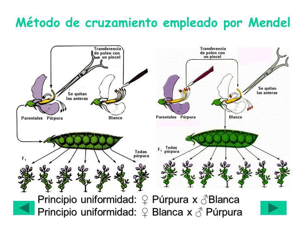 Método de cruzamiento empleado por Mendel