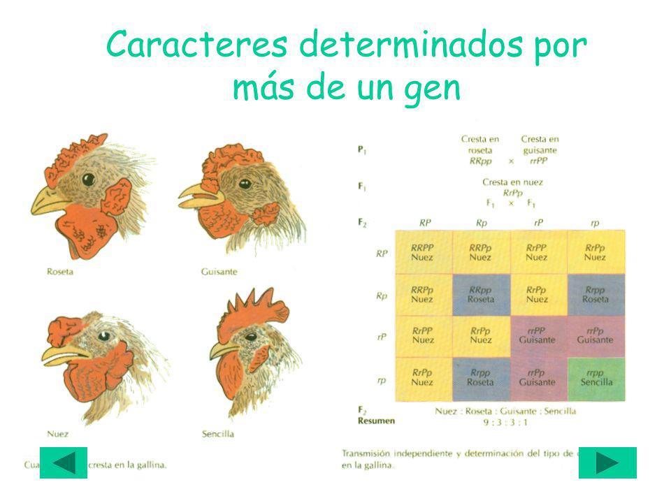 Caracteres determinados por más de un gen