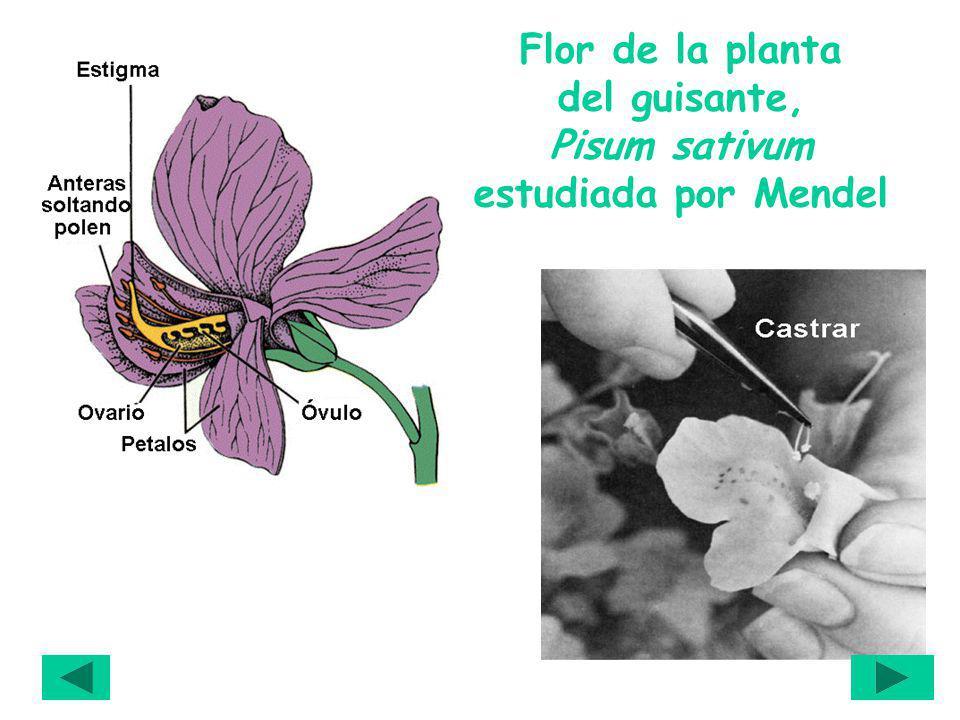Flor de la planta del guisante, Pisum sativum estudiada por Mendel