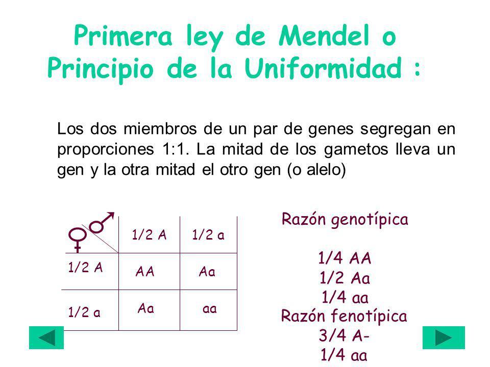 Primera ley de Mendel o Principio de la Uniformidad :
