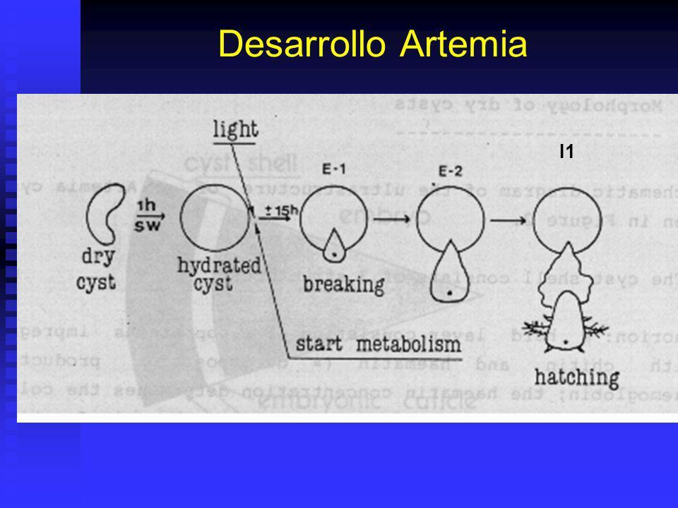 Desarrollo Artemia I1