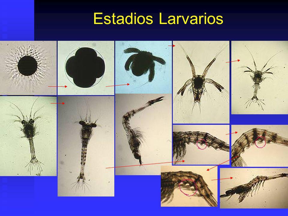 Estadios Larvarios