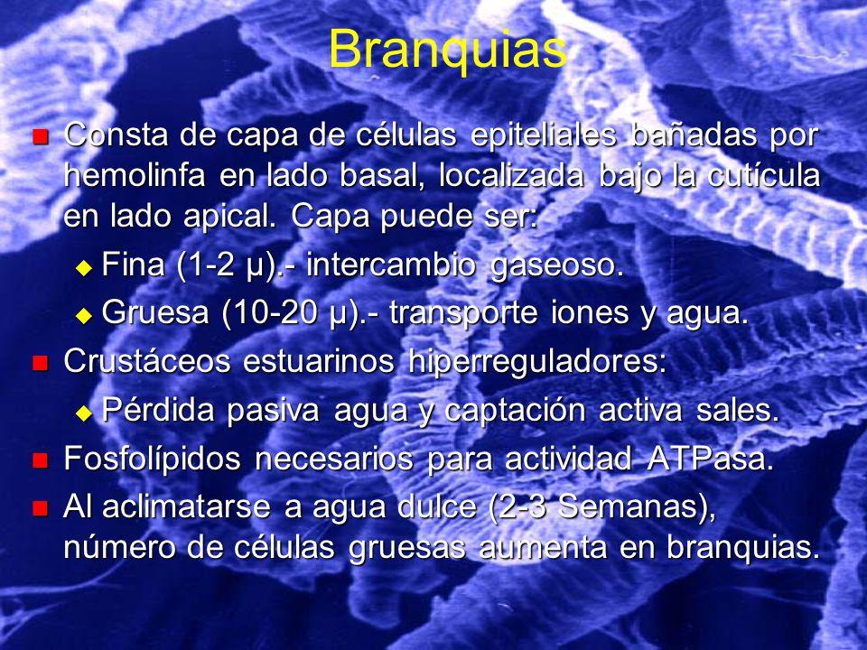 Branquias Consta de capa de células epiteliales bañadas por hemolinfa en lado basal, localizada bajo la cutícula en lado apical. Capa puede ser: