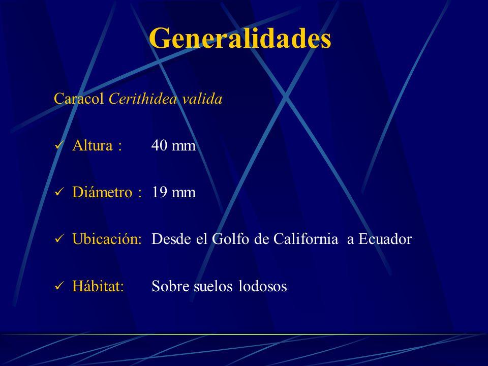Generalidades Caracol Cerithidea valida Altura : 40 mm