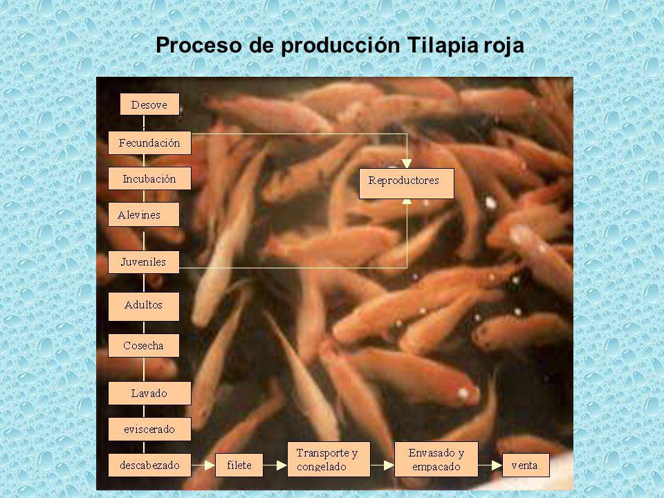 Proceso de producción Tilapia roja