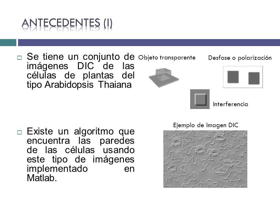 Antecedentes (I) Se tiene un conjunto de imágenes DIC de las células de plantas del tipo Arabidopsis Thaiana.