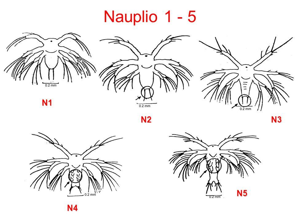 Nauplio 1 - 5 N1 N2 N3 N5 N4