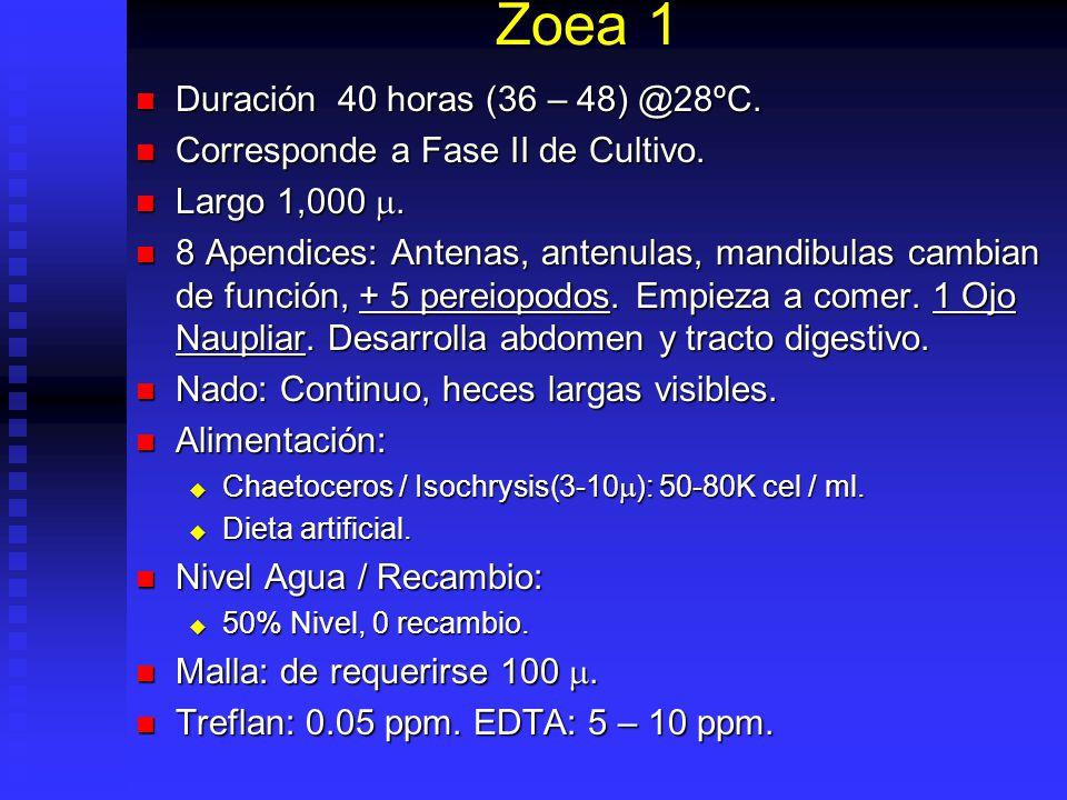 Zoea 1 Duración 40 horas (36 – 48) @28ºC.