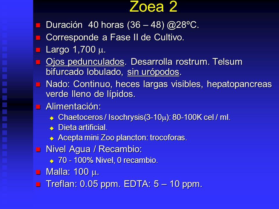 Zoea 2 Duración 40 horas (36 – 48) @28ºC.