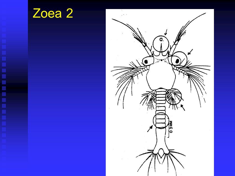 Zoea 2