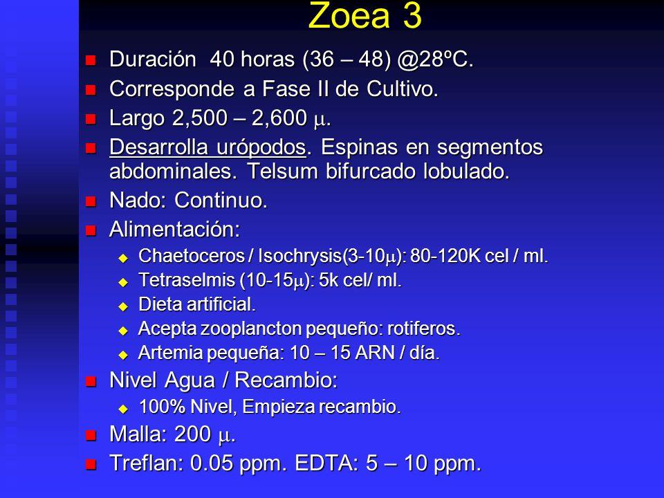 Zoea 3 Duración 40 horas (36 – 48) @28ºC.