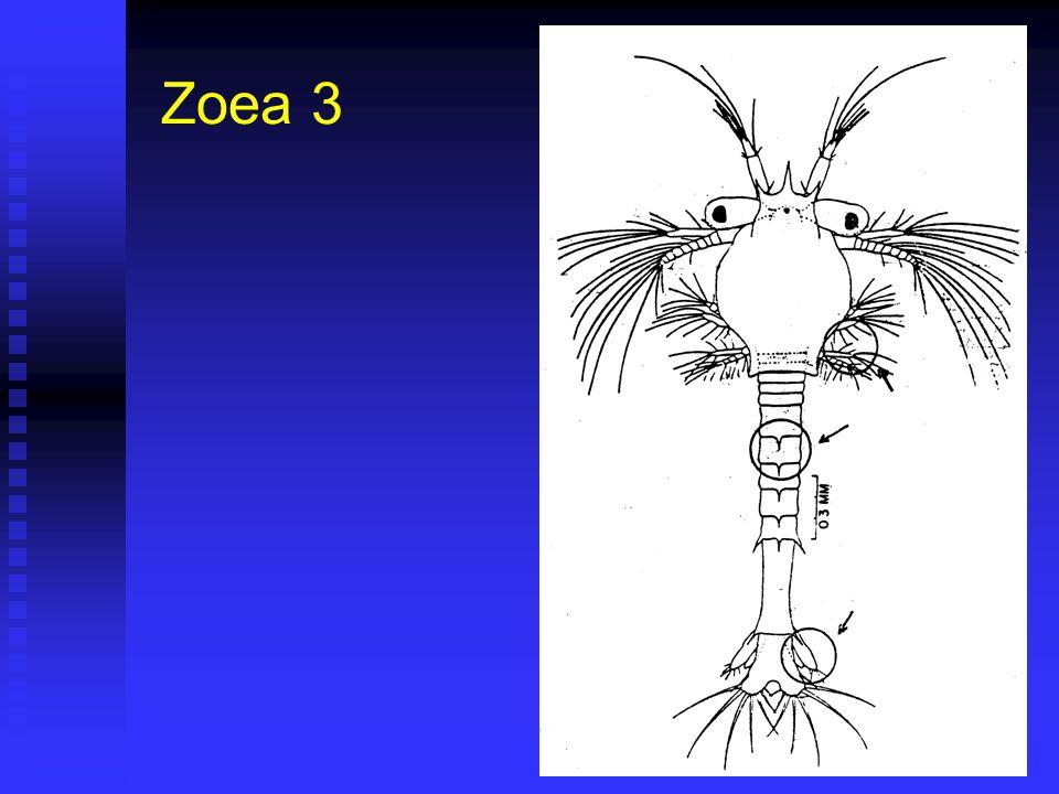 Zoea 3