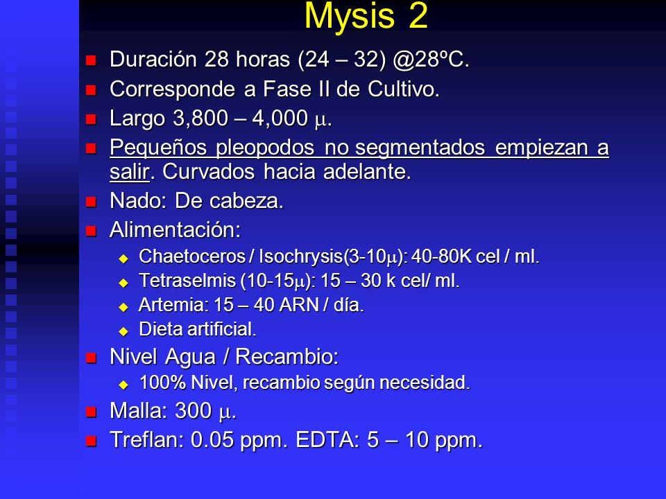 Mysis 2 Duración 28 horas (24 – 32) @28ºC.