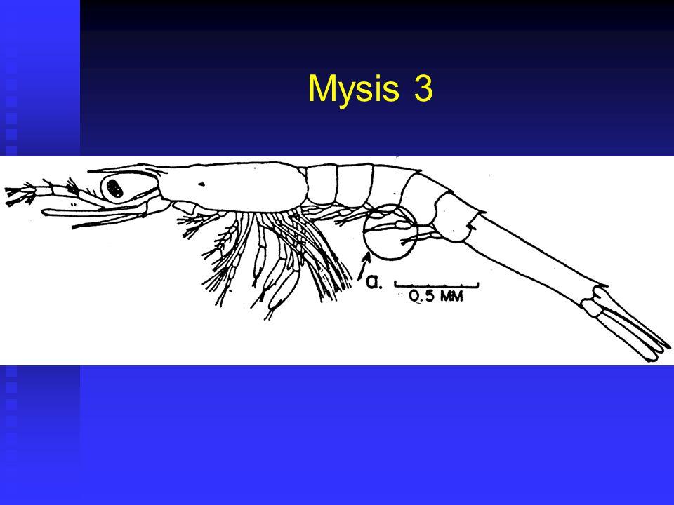 Mysis 3