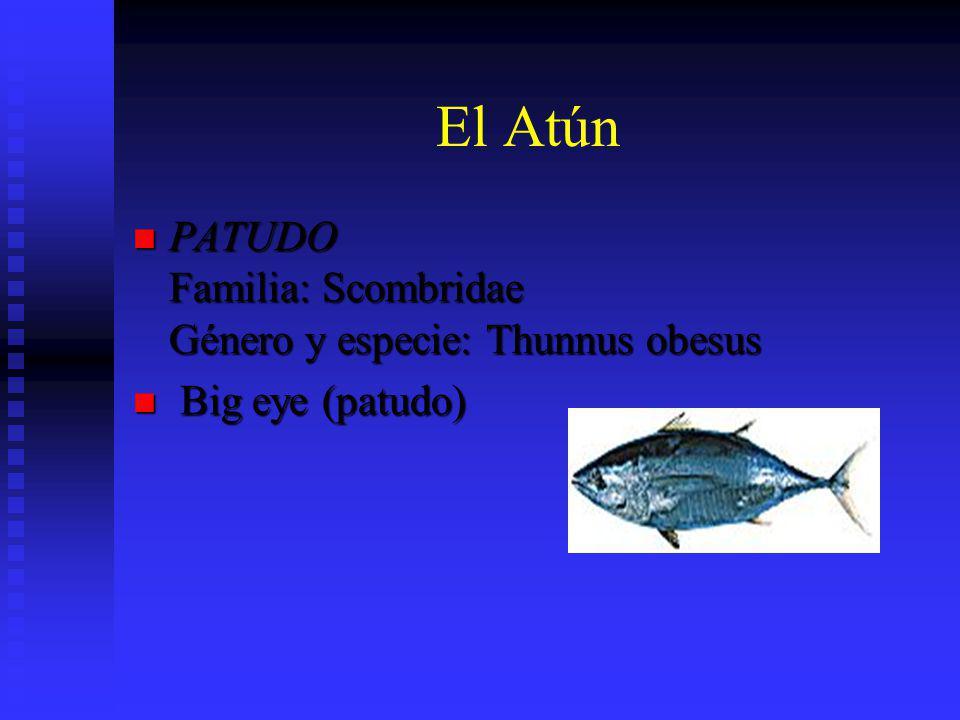 El Atún PATUDO Familia: Scombridae Género y especie: Thunnus obesus