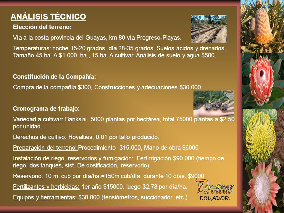 Proteas ANÁLISIS TÉCNICO Elección del terreno: