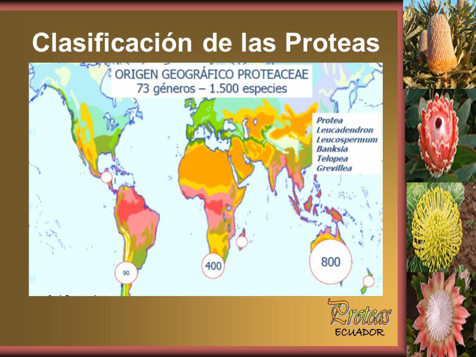 Clasificación de las Proteas