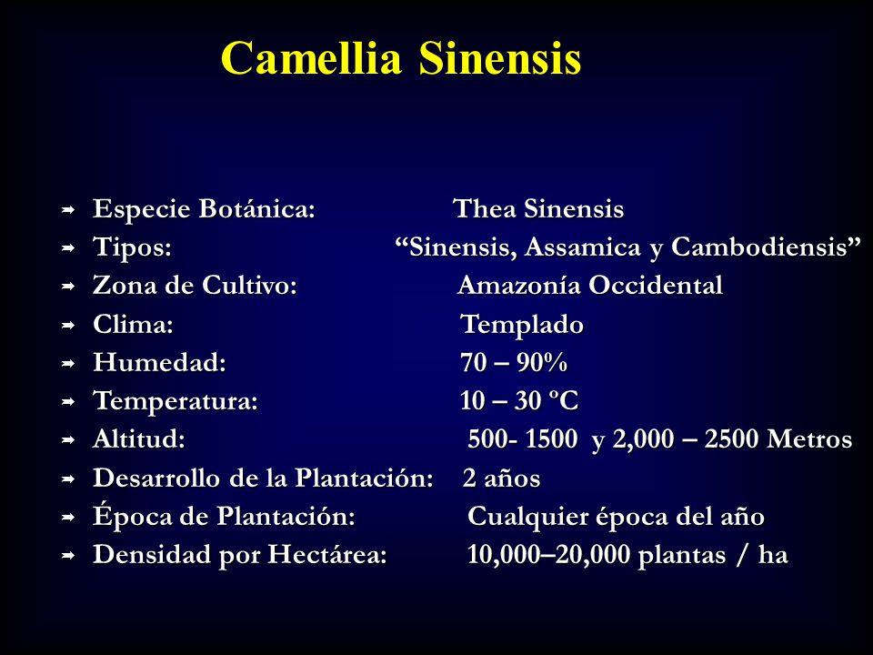 Camellia Sinensis Especie Botánica: Thea Sinensis