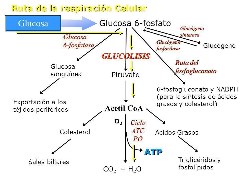 Glucosa Ruta de la respiración Celular Glucosa 6-fosfato GLUCOLISIS
