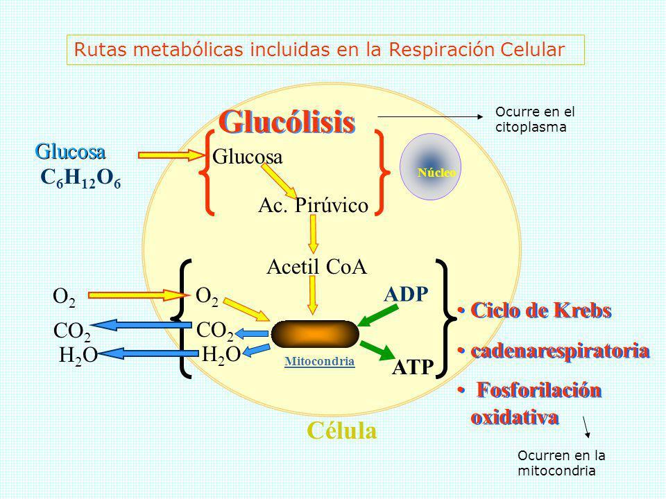 Glucólisis Célula Glucosa Glucosa C6H12O6 Ac. Pirúvico Acetil CoA O2