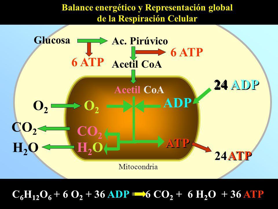 Balance energético y Representación global de la Respiración Celular