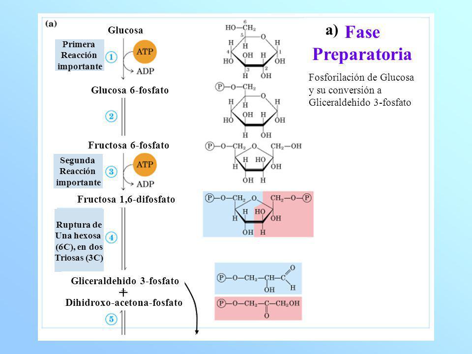 Fase Preparatoria a) + Glucosa