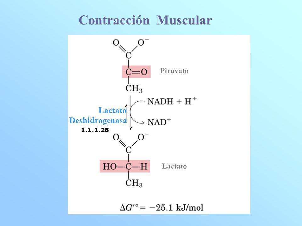Contracción Muscular 1.1.1.28 Piruvato Lactato Lactato Deshidrogenasa