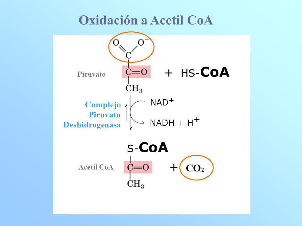 Oxidación a Acetil CoA + HS-CoA + CO2 S-CoA NAD+