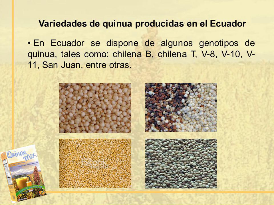 Variedades de quinua producidas en el Ecuador