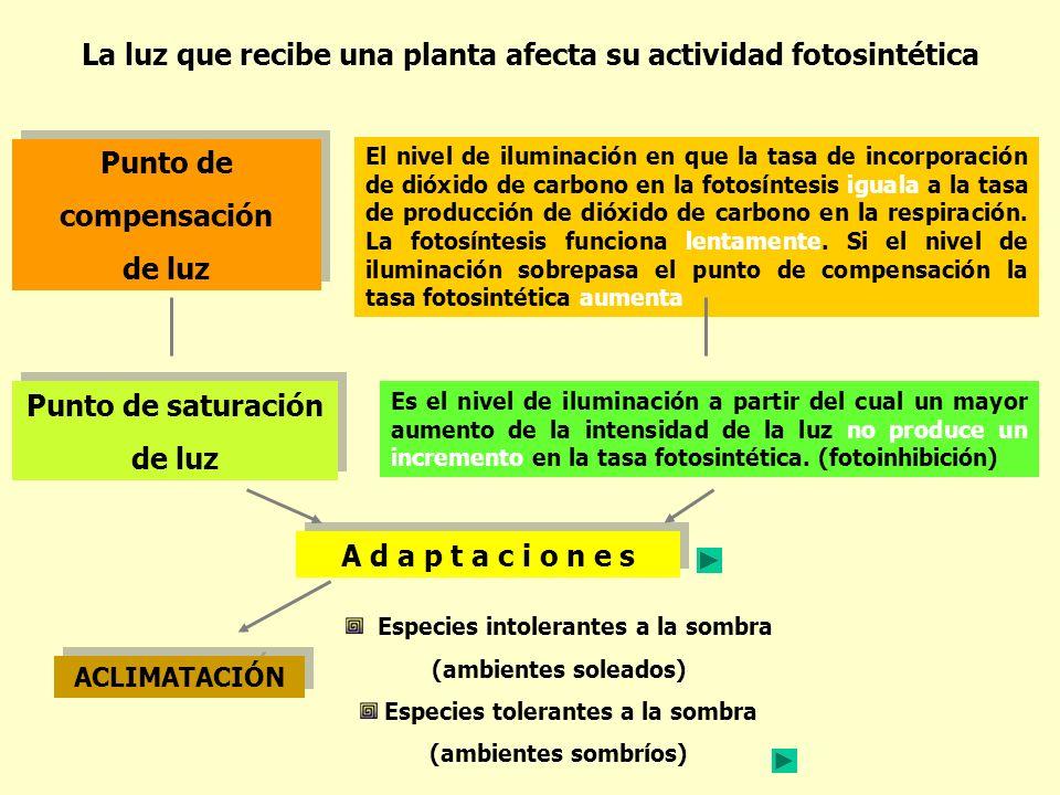La luz que recibe una planta afecta su actividad fotosintética