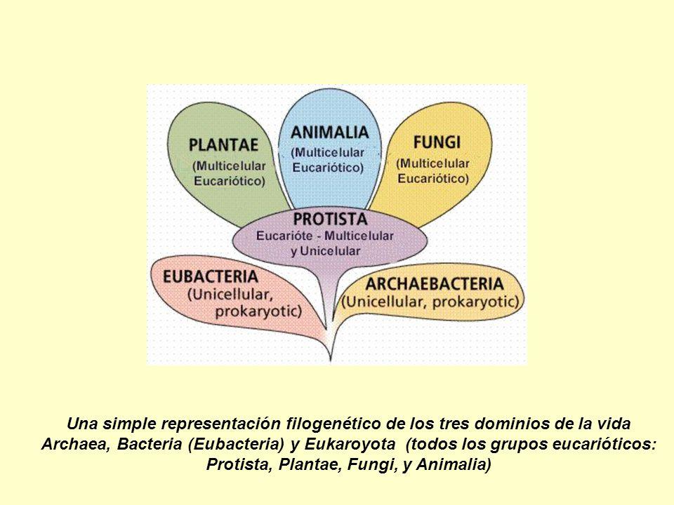 Una simple representación filogenético de los tres dominios de la vida Archaea, Bacteria (Eubacteria) y Eukaroyota (todos los grupos eucarióticos: Protista, Plantae, Fungi, y Animalia)