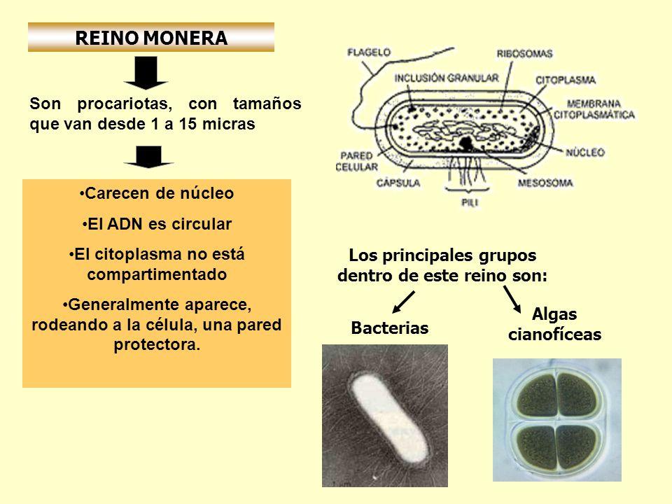 REINO MONERA Son procariotas, con tamaños que van desde 1 a 15 micras