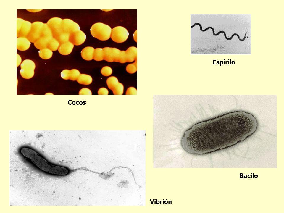 Espirilo Cocos Bacilo Vibrión