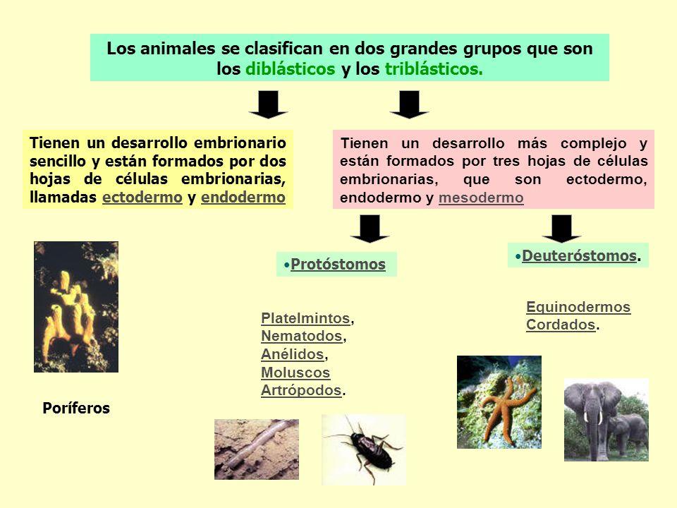Los animales se clasifican en dos grandes grupos que son los diblásticos y los triblásticos.
