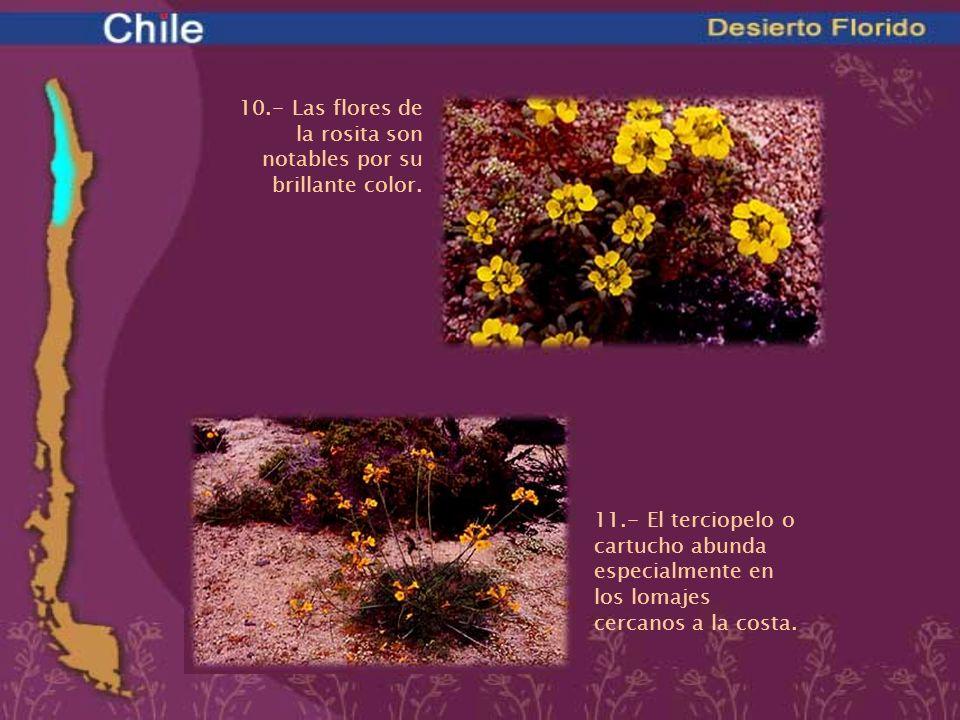 10.- Las flores de la rosita son notables por su brillante color.