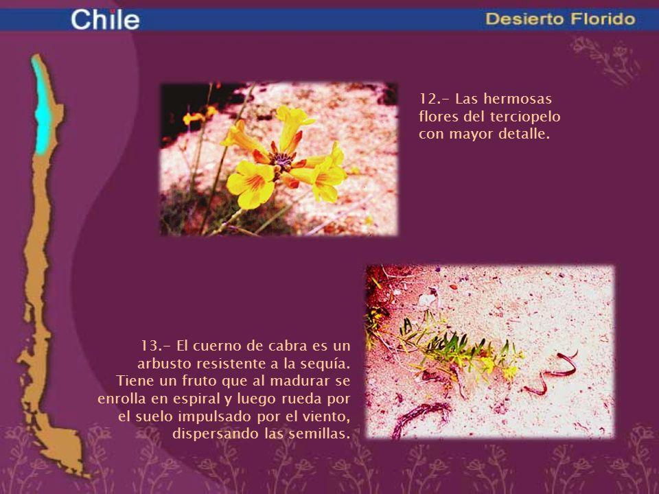 12.- Las hermosas flores del terciopelo con mayor detalle.