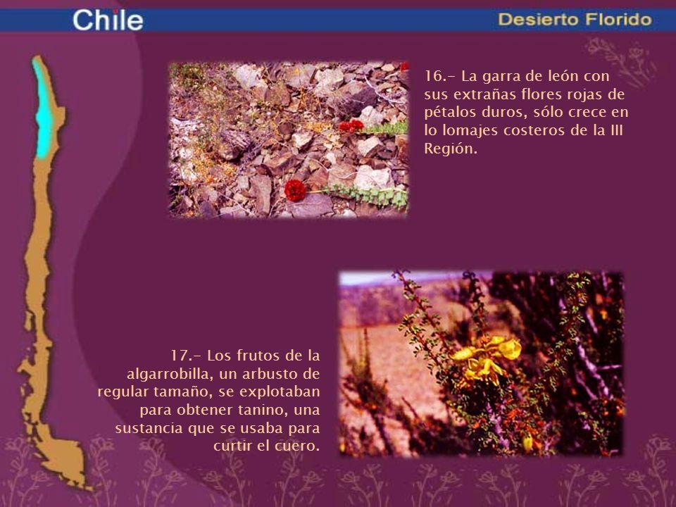 16.- La garra de león con sus extrañas flores rojas de pétalos duros, sólo crece en lo lomajes costeros de la III Región.