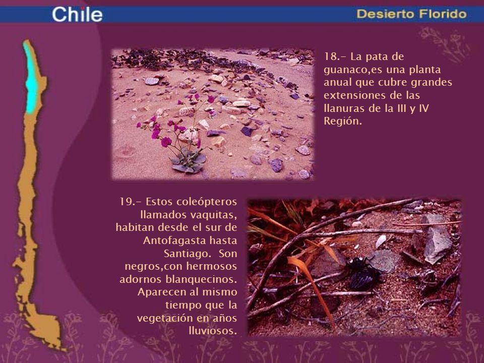 18.- La pata de guanaco,es una planta anual que cubre grandes extensiones de las llanuras de la III y IV Región.