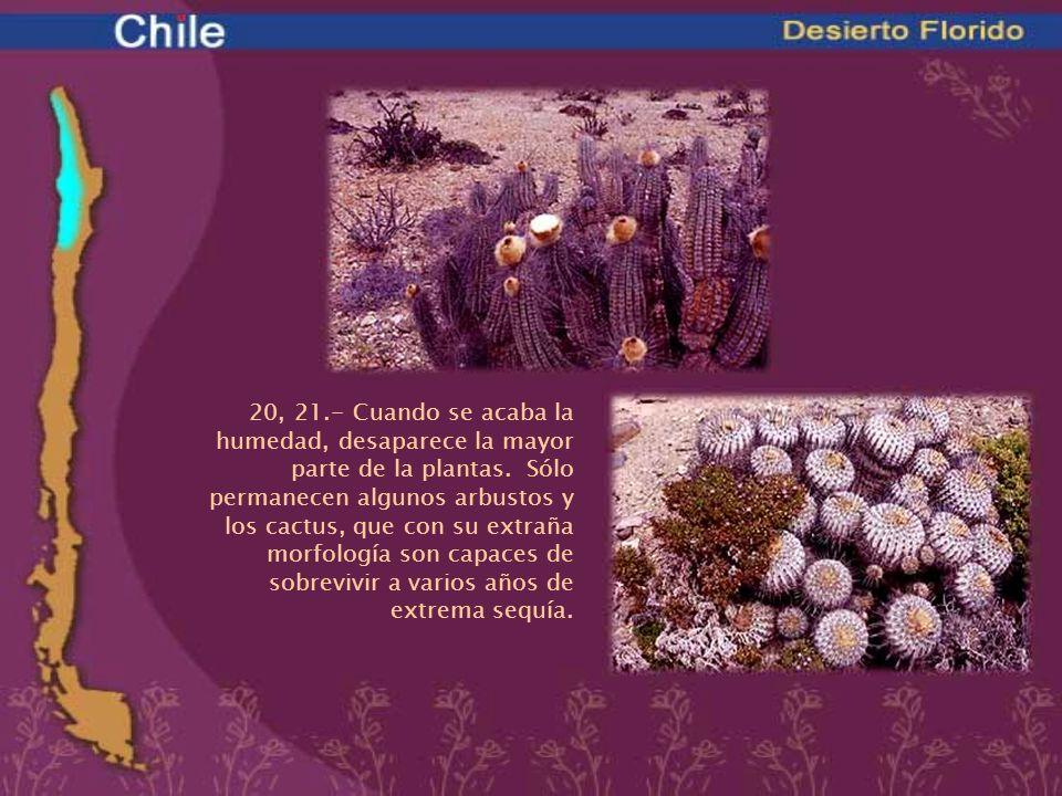 20, 21.- Cuando se acaba la humedad, desaparece la mayor parte de la plantas. Sólo permanecen algunos arbustos y los cactus, que con su extraña morfología son capaces de sobrevivir a varios años de extrema sequía.