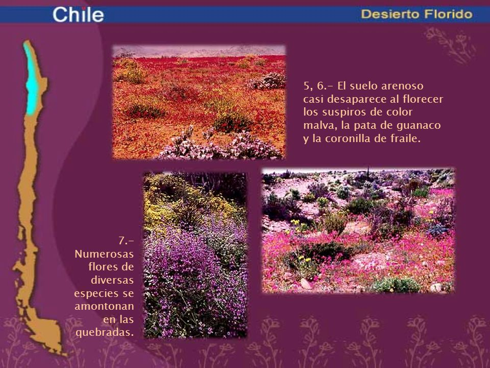 5, 6.- El suelo arenoso casi desaparece al florecer los suspiros de color malva, la pata de guanaco y la coronilla de fraile.